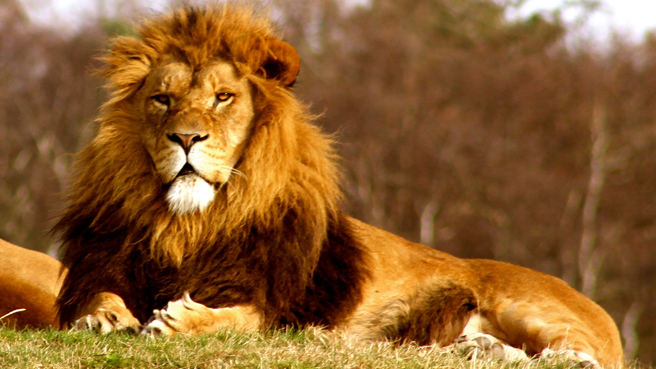 Raja Hutan Singa Dunia Hewan